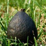 Loài nấm Ô Linh quý hiếm trong ổ kiến trị gía 68 triệu/ kg