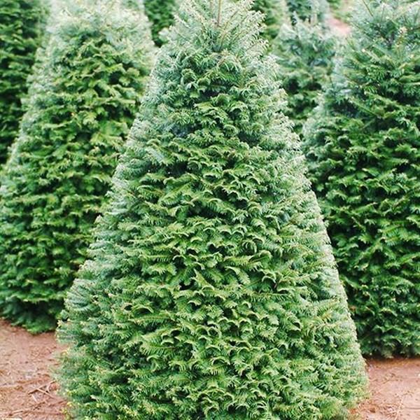 Cây thông Noel được nhập khẩu trực tiếp từ các nước châu Âu để phục vụ mùa Giáng sinh ở Việt Nam