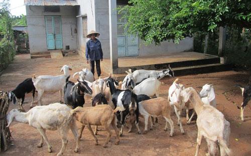 Từ chăn nuôi dê, nhiều nông dân ấp Phong Phú, xã Long Phước, TP.Bà Rịa, tỉnh Bà Rịa – Vũng Tàu đã có thu nhập cao.  Ảnh:  Đức Thịnh