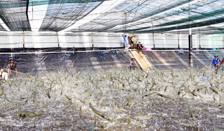 Thu hoạch tôm nuôi theo quy trình ứng dụng công nghệ cao của Công ty Hải Nguyên, xã Vĩnh Trạch Đông, TP. Bạc Liêu, tỉnh Bạc Liêu.
