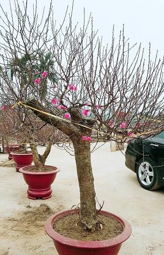 Người trồng đào đang thấp thỏm lo lắng trước thời tiết lạnh giá kéo dài.
