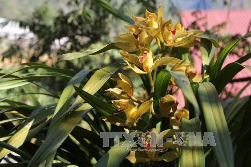 Hoa địa lan nở trước Tết. Ảnh: Nguyễn Duy/TTXVN