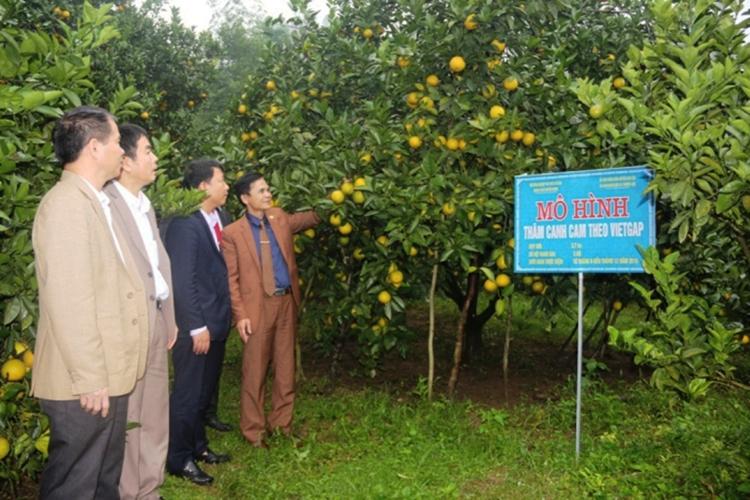 Những mô hình trồng cam đem lại thu nhập cao cho người dân huyện Can Lộc.