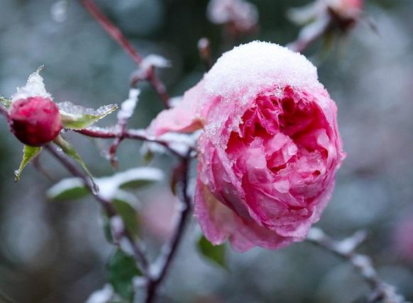 Tuyết rơi tại Ô Quy Hồ phủ kín hoa đào tạo nên một cảnh đẹp thiên nhiên tuyệt vời.