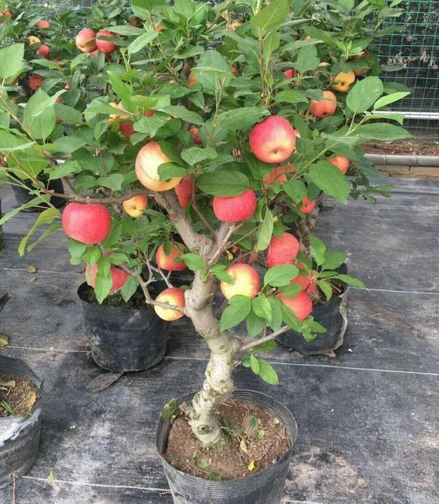 Năm nay táo bonsai được trồng nhiều ở Việt Nam, người chơi thoả sức lựa chọn