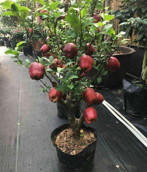 Cây táo cảnh chỉ cao dưới 1,2m, phù hợp trồng trong chậu đặt trong nhà chơi Tết.
