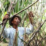 Nông dân Bình Định nhận đường để… trừ nợ tiền mía