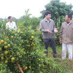 Trang trại cây ăn quả Phù Đổng: Nơi cung cấp sản phẩm sạch ra thị trường
