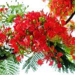 Mùa hoa phượng
