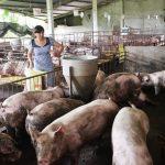 Hỗ trợ người chăn nuôi khi dịch tả heo châu Phi lan tới TP.HCM