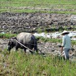 Người trồng lúa lo không có lũ