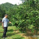 Lối thoát nghề trồng cam: Tín hiệu khả quan từ mô hình quản lý dịch hại