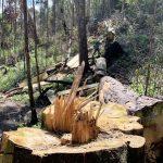 Rừng nguyên sinh bị tàn phá, gỗ lậu lọt vào nhà… Tổ trưởng bảo vệ rừng