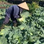 Người dân phá bỏ hàng trăm tấn rau, củ vì rớt giá không bán được