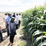 Nông dân hối hả trồng bắp sinh khối