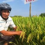 Những giống lúa của Vinaseed làm nức lòng nông dân