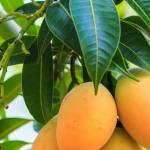 Việt Nam là quốc gia sản xuất xoài lớn thứ 13 trên thế giới
