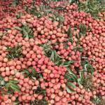 Bắc Giang: Mỗi ngày tiêu thụ từ 5 – 7 nghìn tấn vải thiều