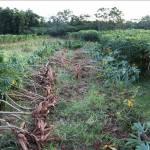 Nông dân trồng sắn Tây Ninh lãi từ 40 – 50 triệu đồng/ha