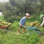 Quả ngọt từ chuyển đất lúa kém hiệu quả sang trồng cây ăn trái